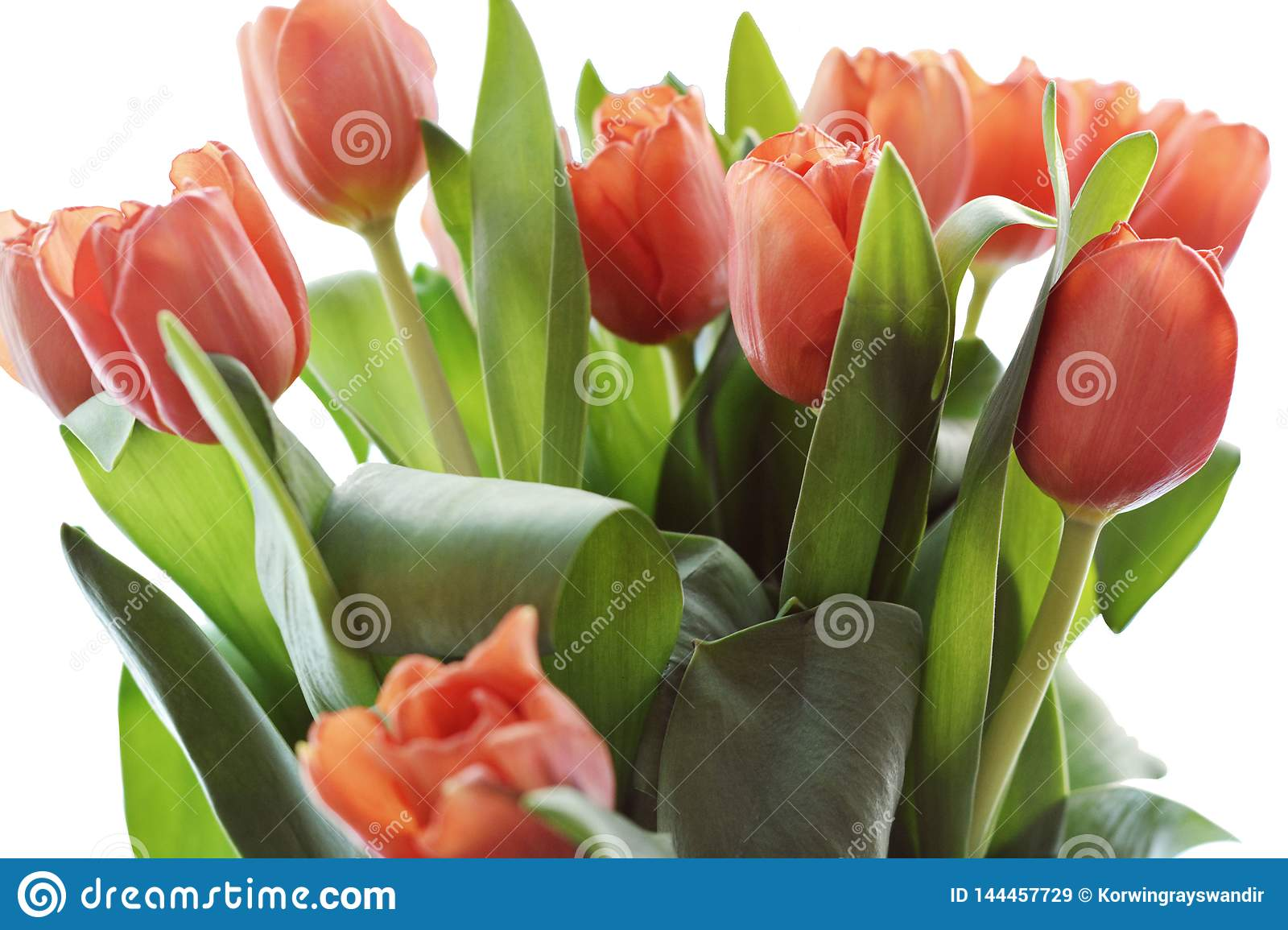 Coral tulip clipart is a high quality raster clipart