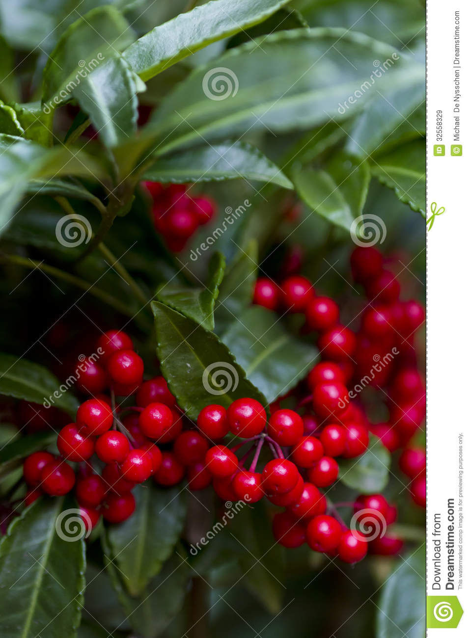 ... Plant With Red Berries Royalty Free Stock Images - Image: 32558329