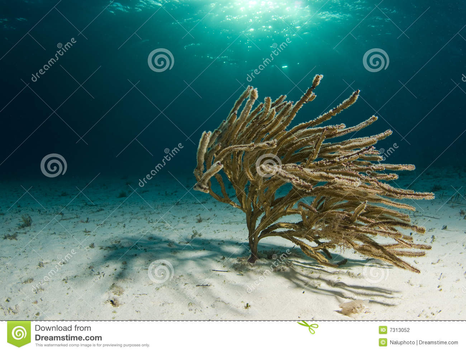 Corallo molle d ondeggiamento