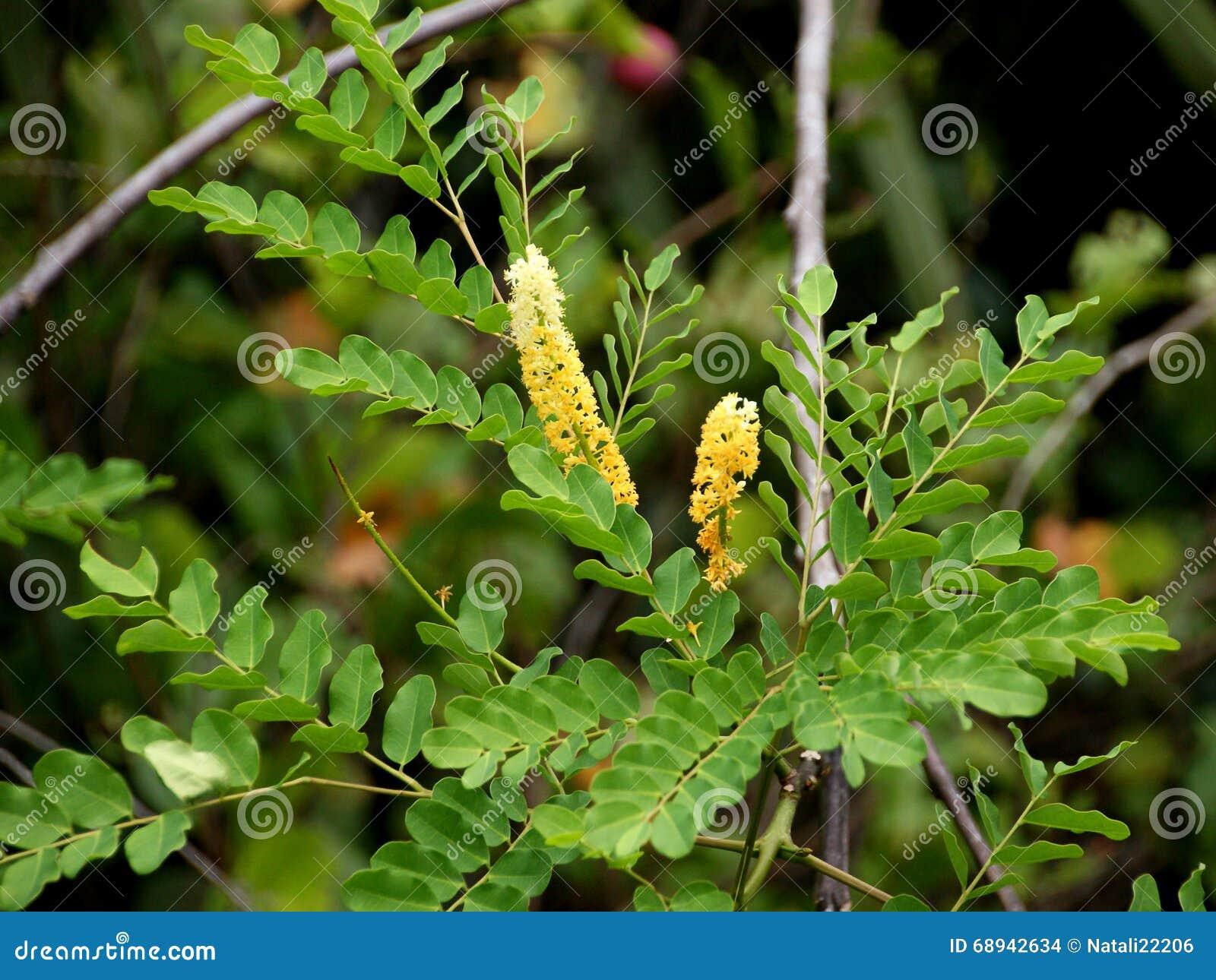 Coralwood Peacock Flower Fence Red Sandalwood Tree