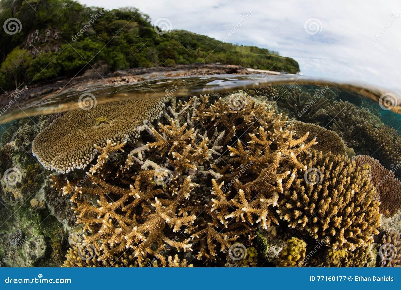 Coraux renforcement de récif en eau peu profonde