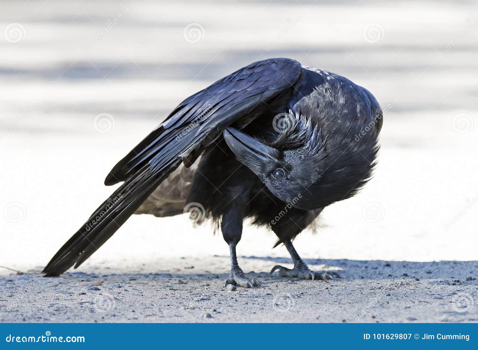 Corax común del Corvus del cuervo que se atusa en el parque del Algonquin, Canadá