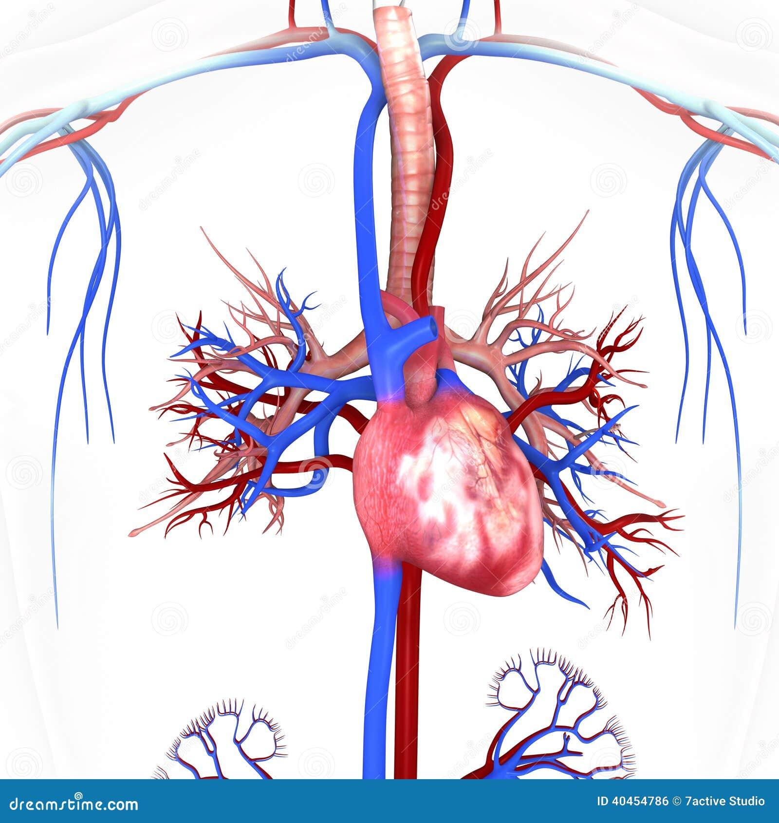 Corazón Con Las Venas Y Las Arterias Stock de ilustración ...