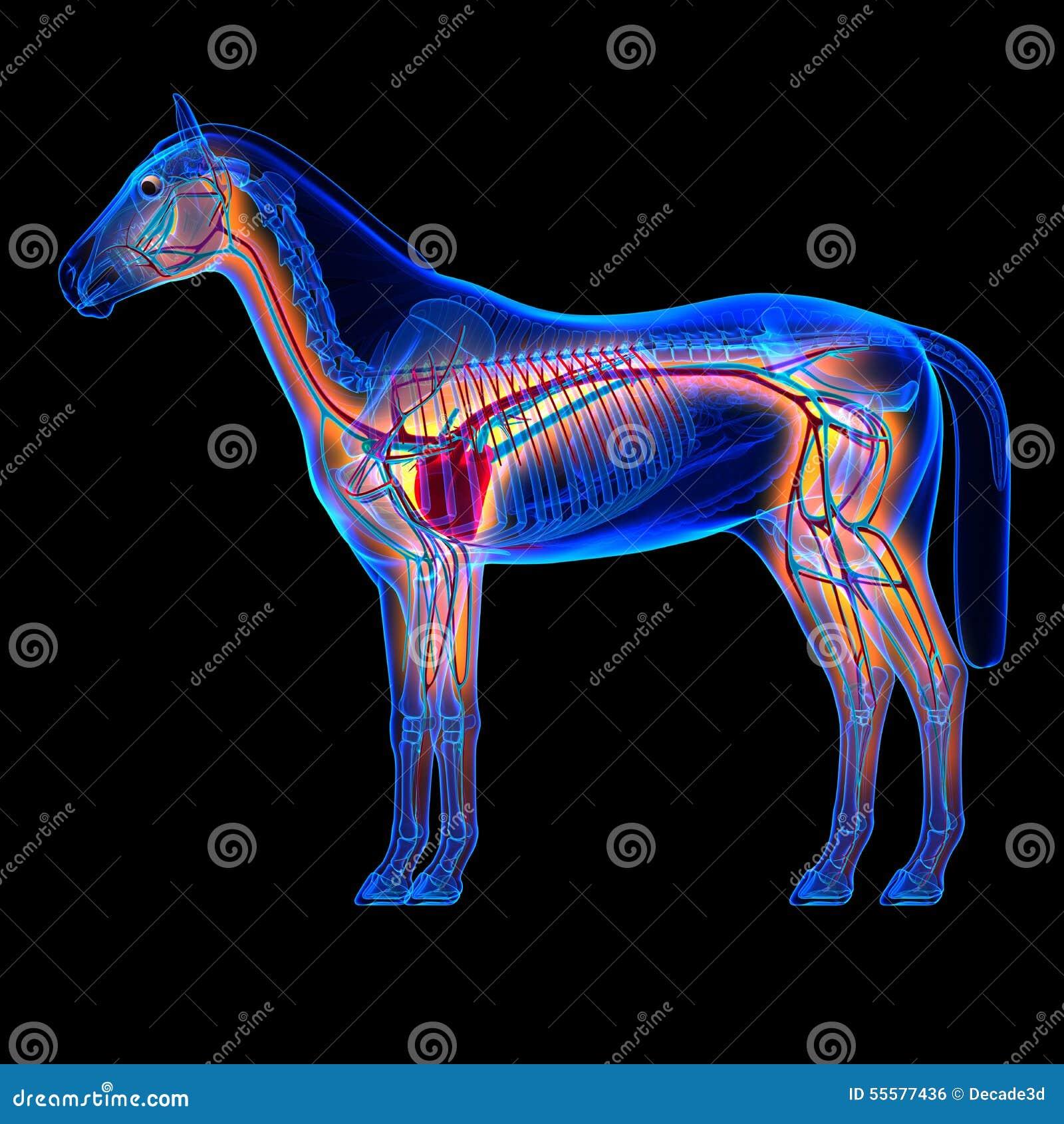 Corazón Del Caballo Con El Sistema Circulatorio - Anatomía Del Equus ...