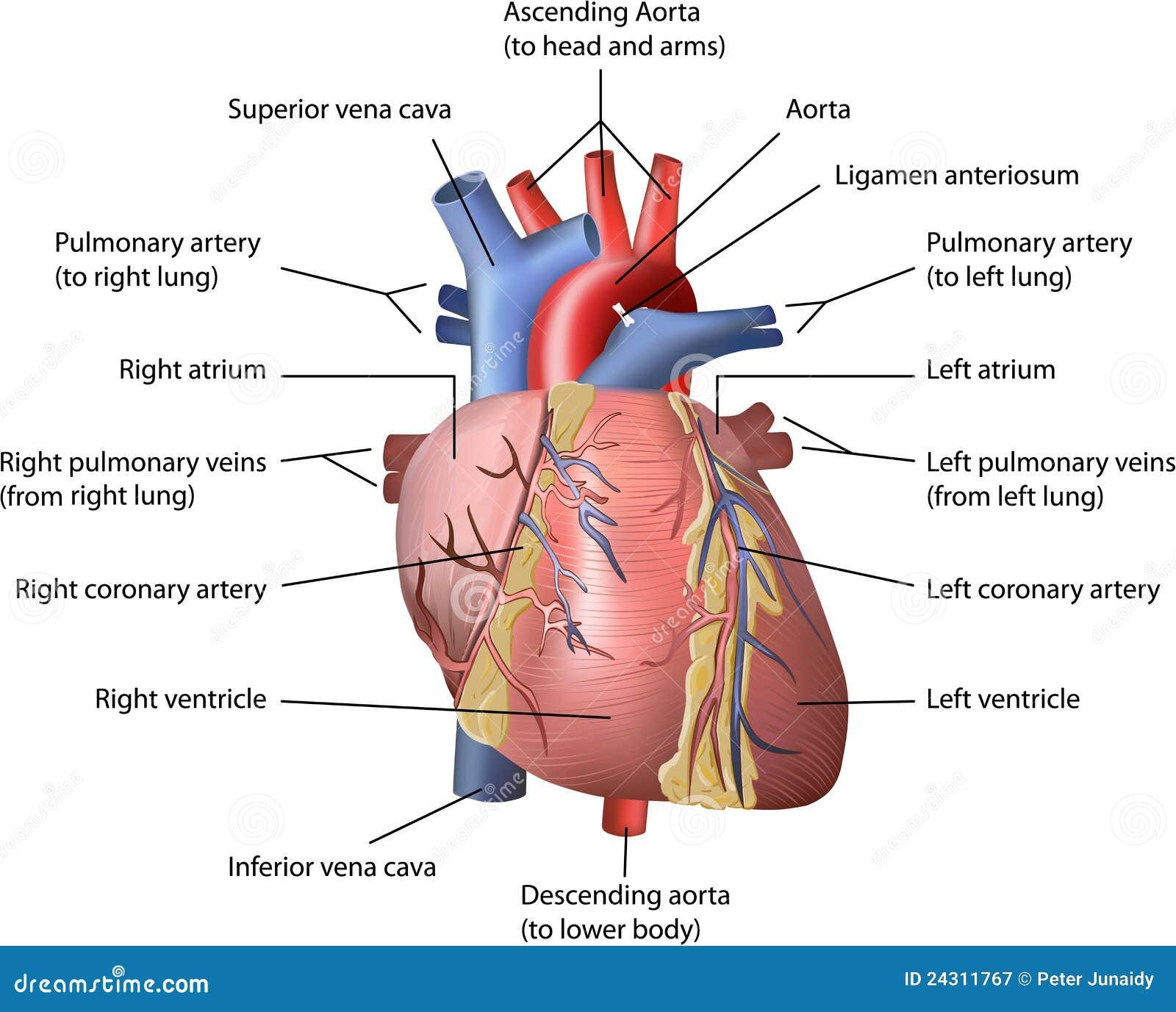 Asombroso Imagen Del Diagrama De Corazón Humano Viñeta - Imágenes de ...