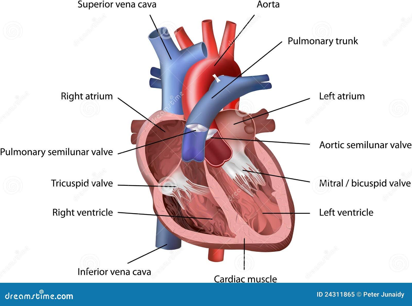 Corazón humano ilustración del vector. Ilustración de carrocería ...