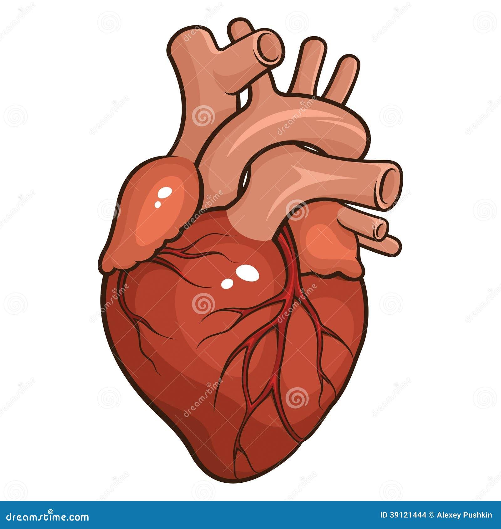 Corazón Humano Ilustración Del Vector Ilustración De Medicina