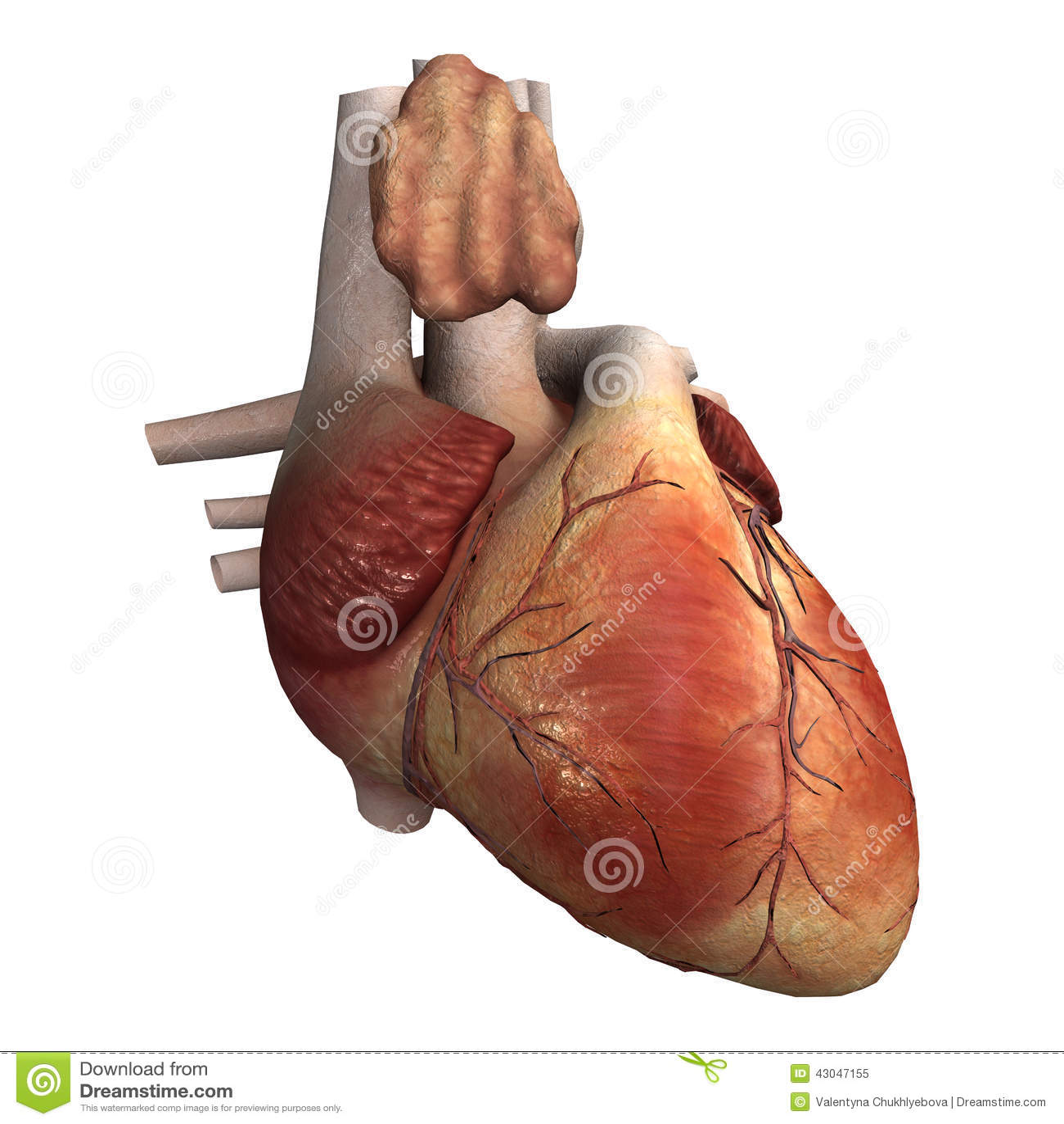 Corazón Humano Stock De Ilustración Ilustración De Anatómico 43047155