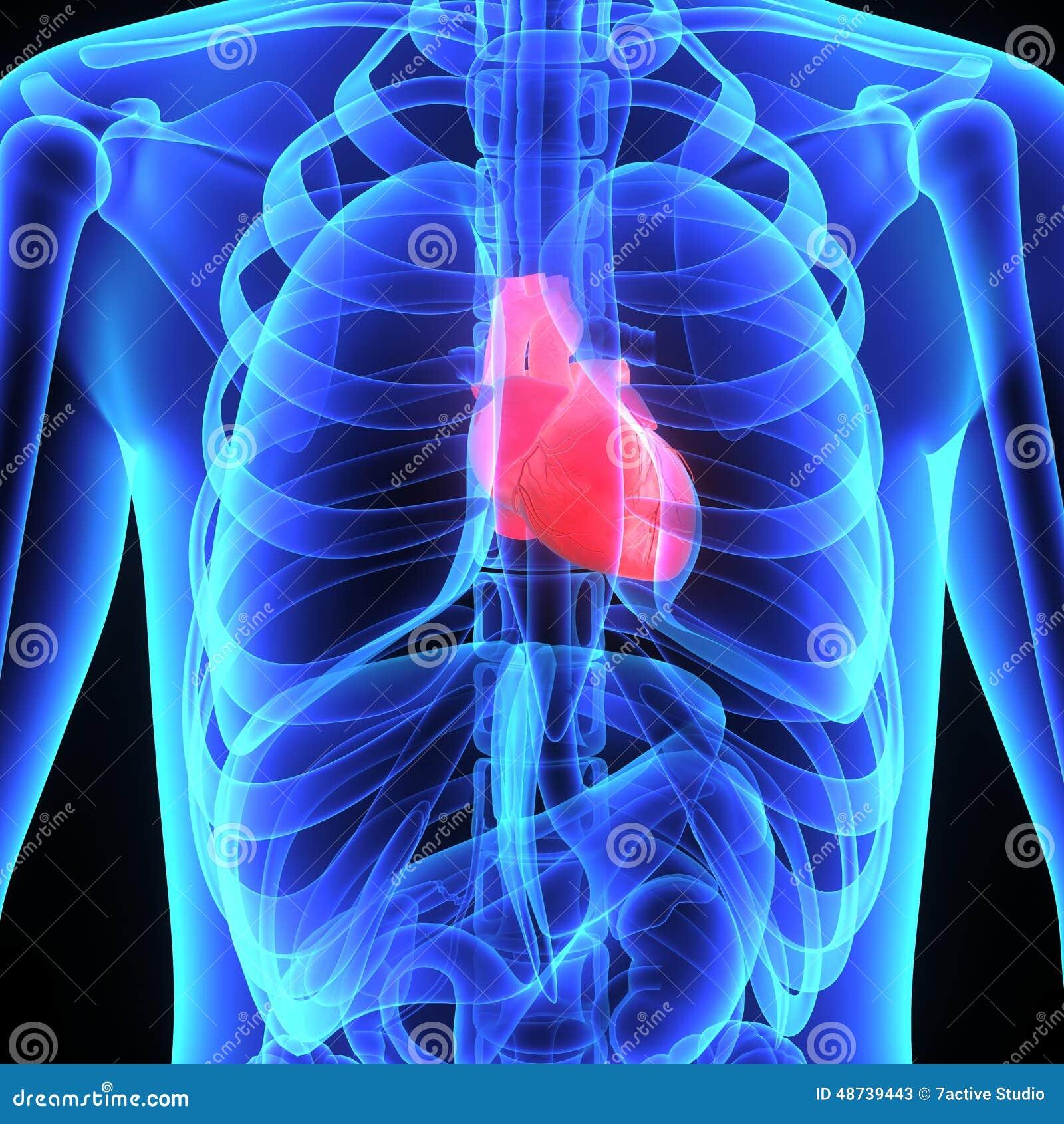 Increíble Ubicación De Corazón En El Cuerpo Humano Colección de ...