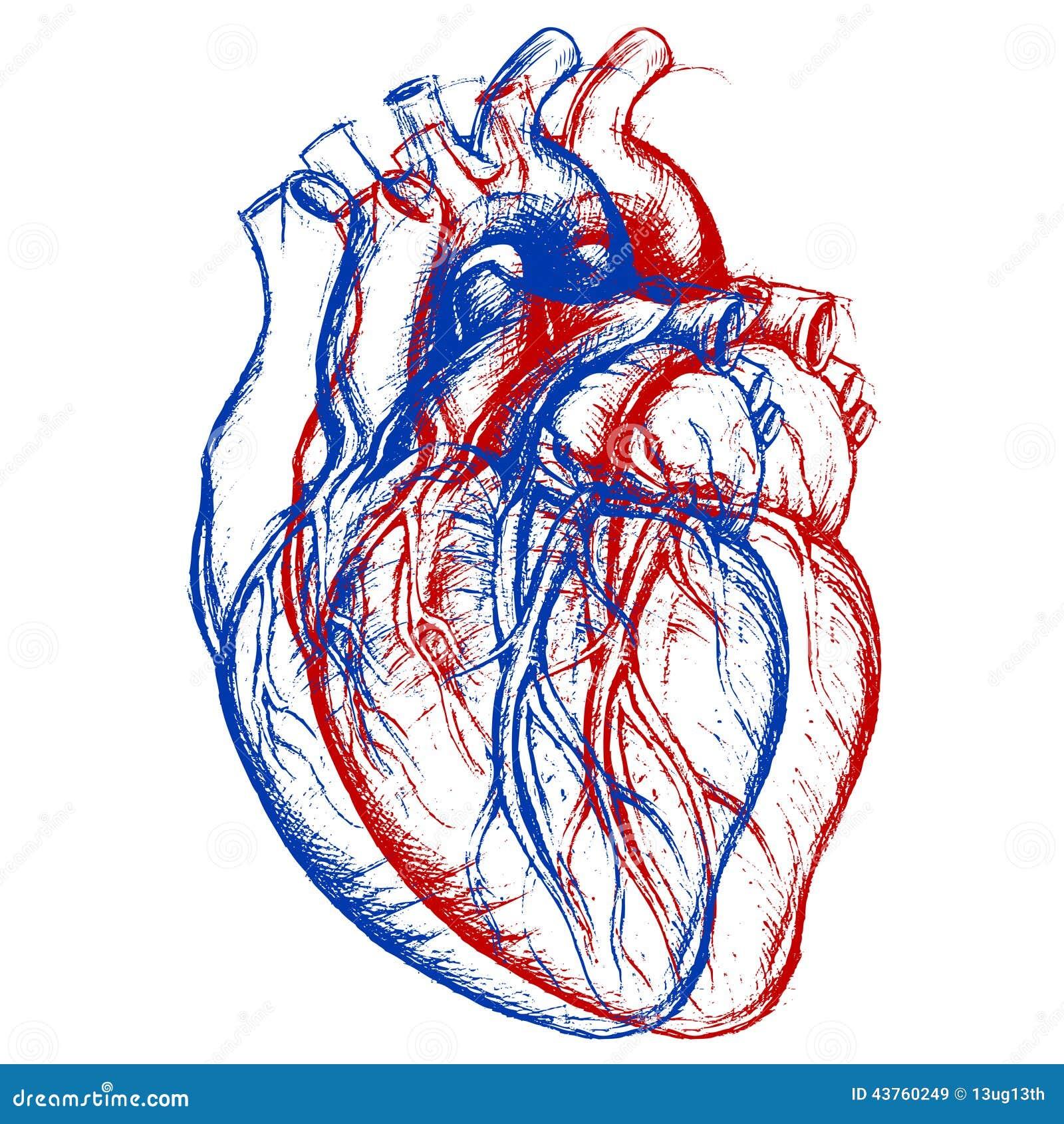 Corazón Humano 3d Ilustración Del Vector Ilustración De Dimensional
