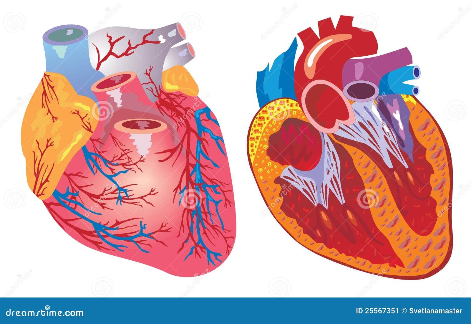Corazón Y Sistema Cardiovascular Ilustración del Vector ...