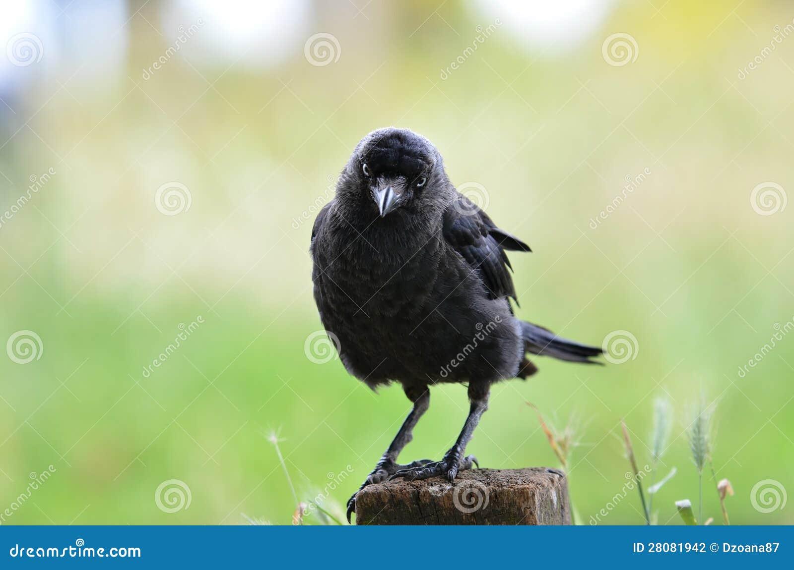 Corbeau de regarder en stationnement de Richmond