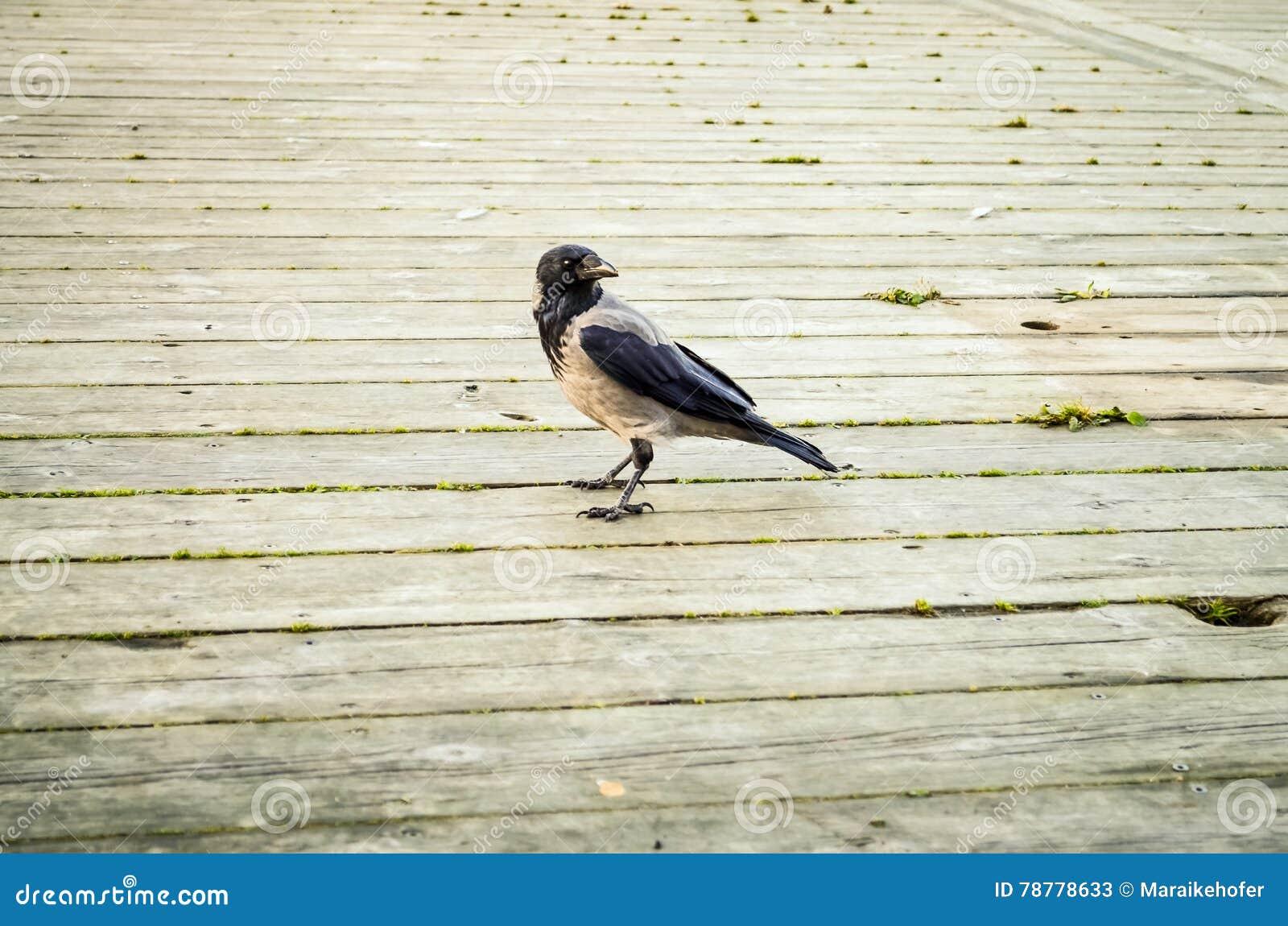 Corbeau noir marchant au-dessus du plancher en bois