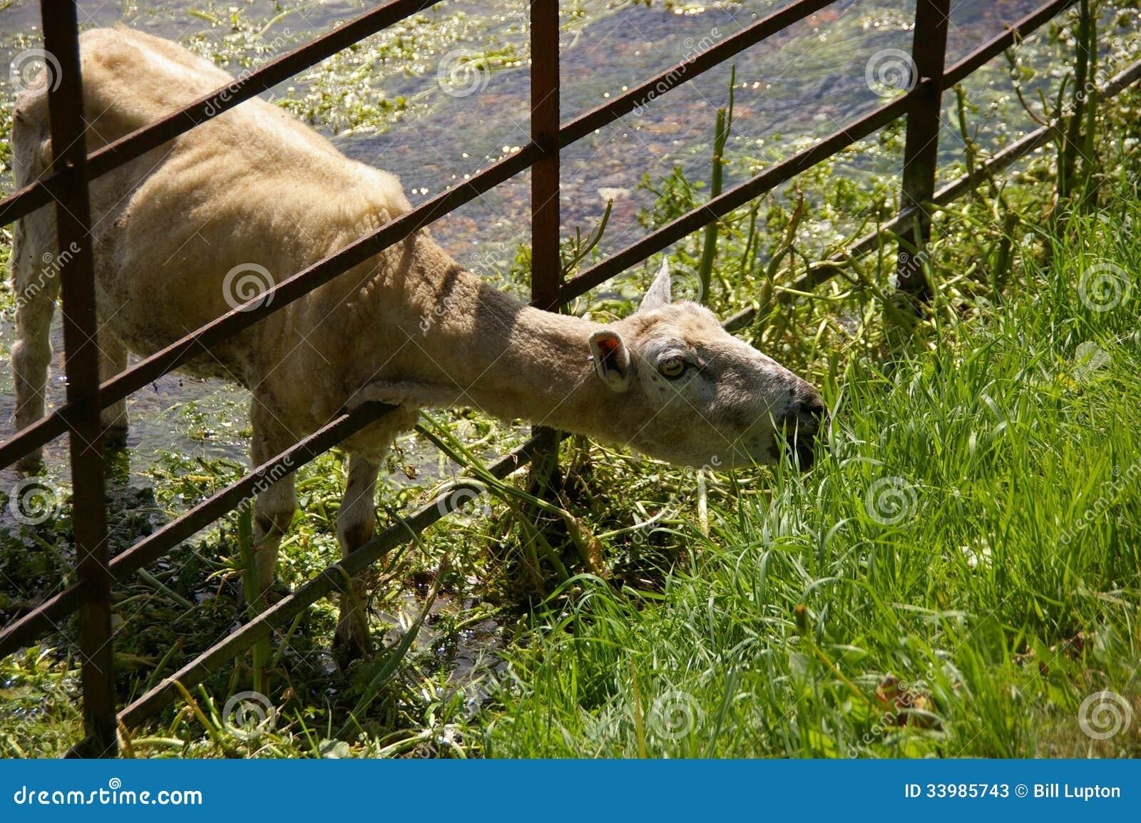 Cordeiro de Shawn que come a grama através da cerca