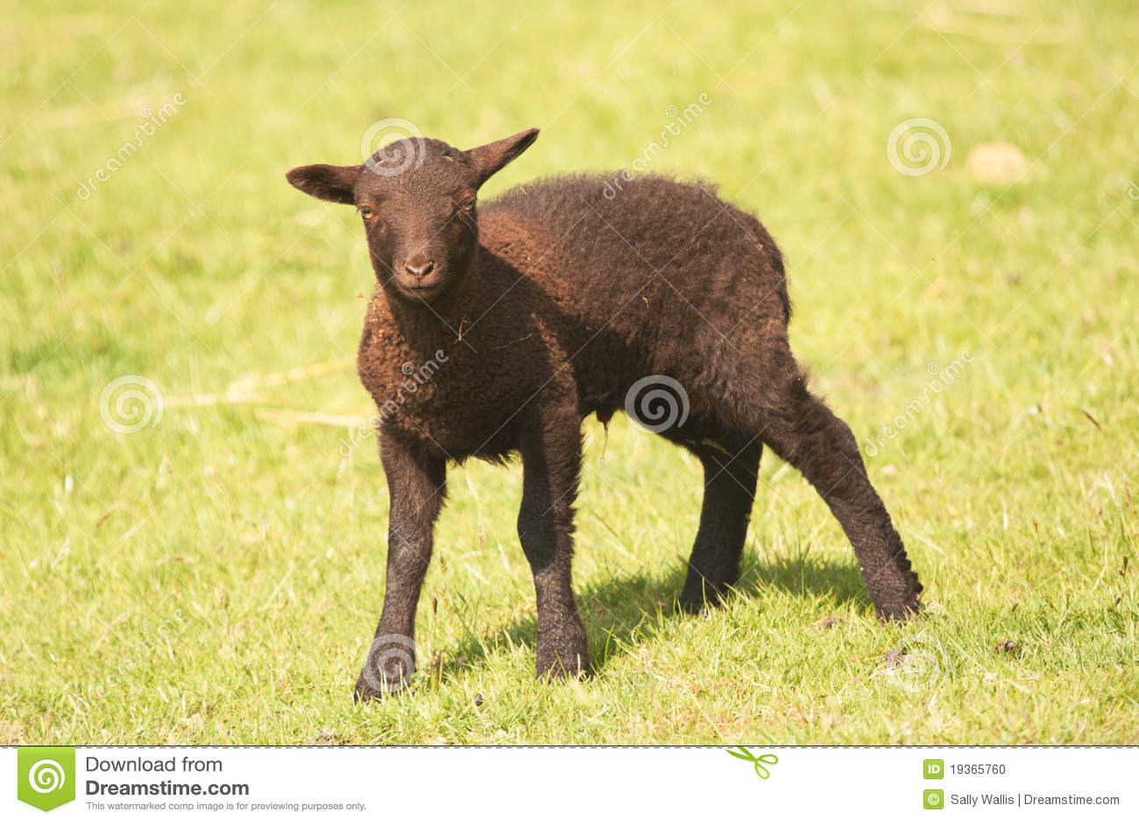 Cordeiro de Shetland - marrom escuro