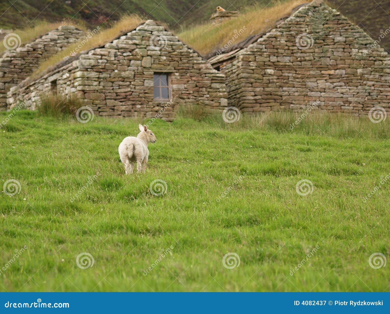 Cordeiro no pasto