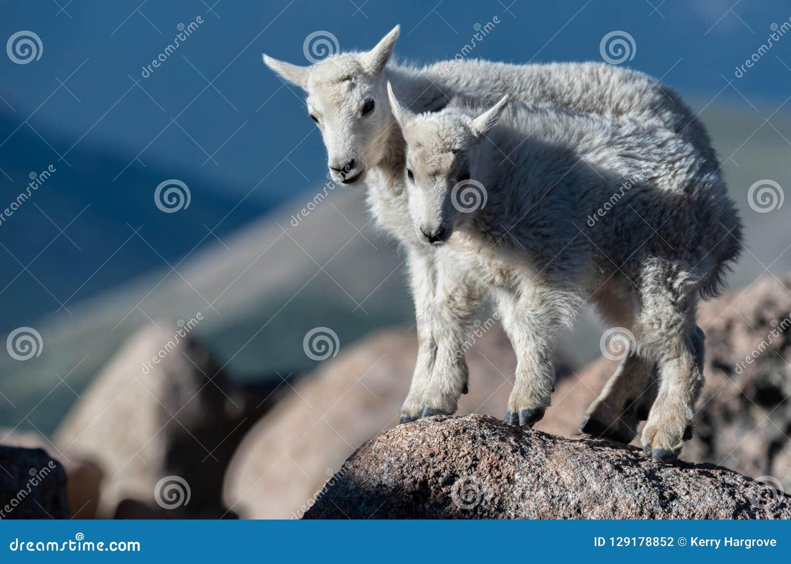 Cordeiros da cabra de montanha do bebê em Rocky Mountains