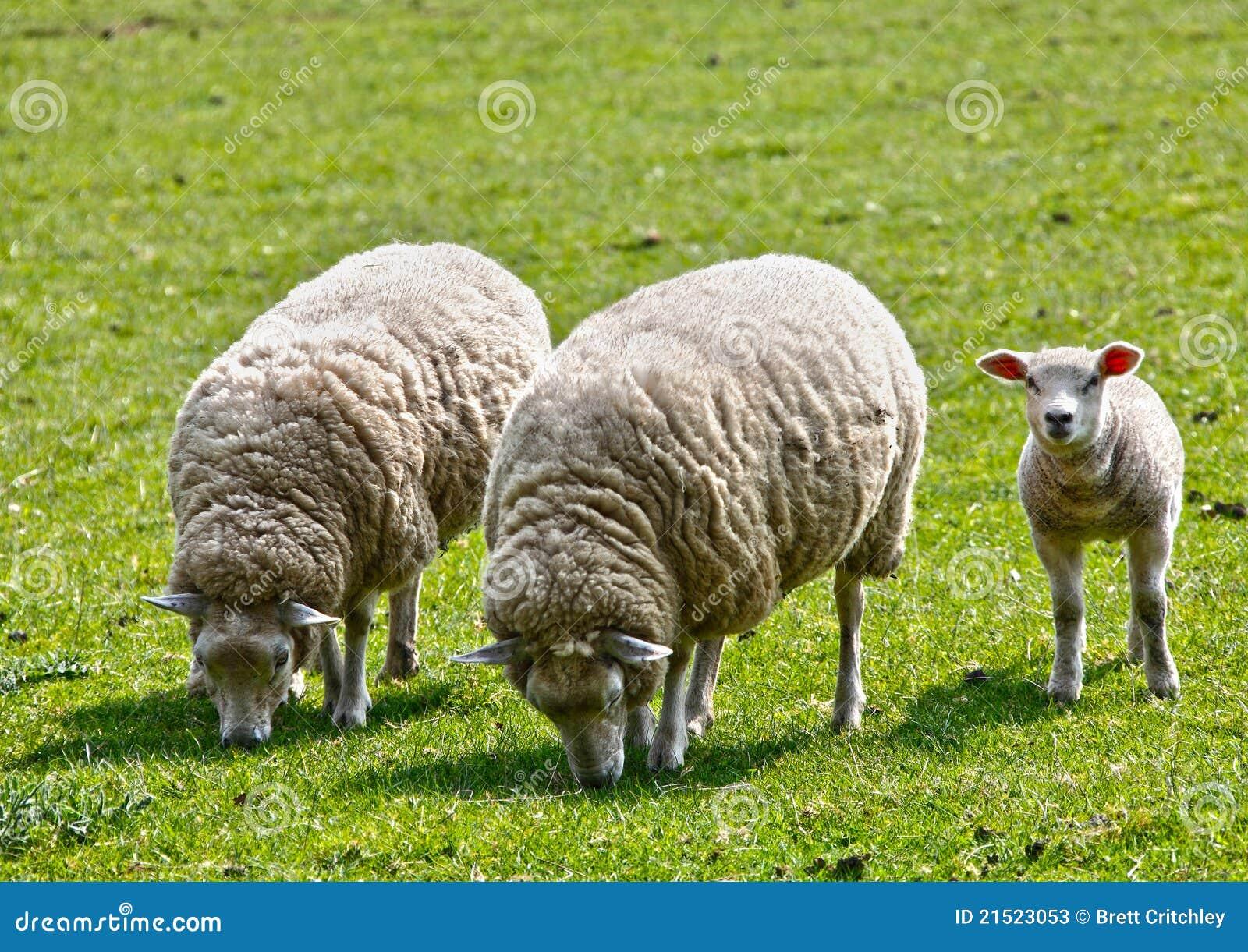 Cordero de las ovejas del ganado