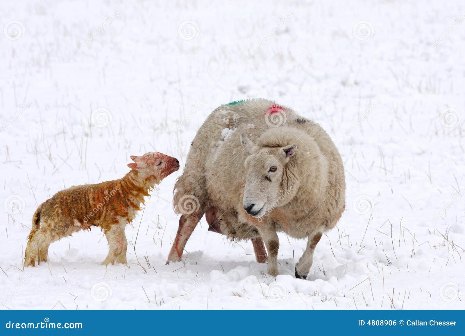Cordero nuevamente llevado en la nieve