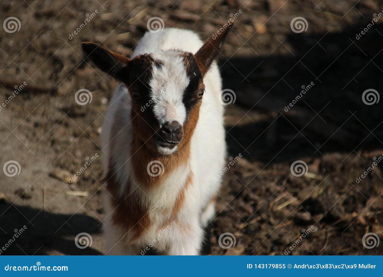 Corderos y ovejas en un maedow de la hierba