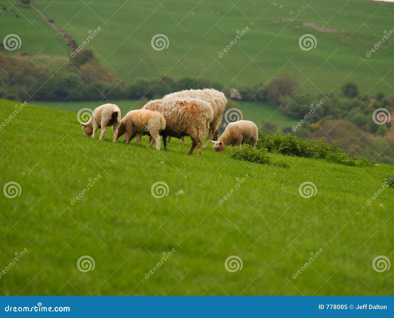 Corderos y ovejas que pastan