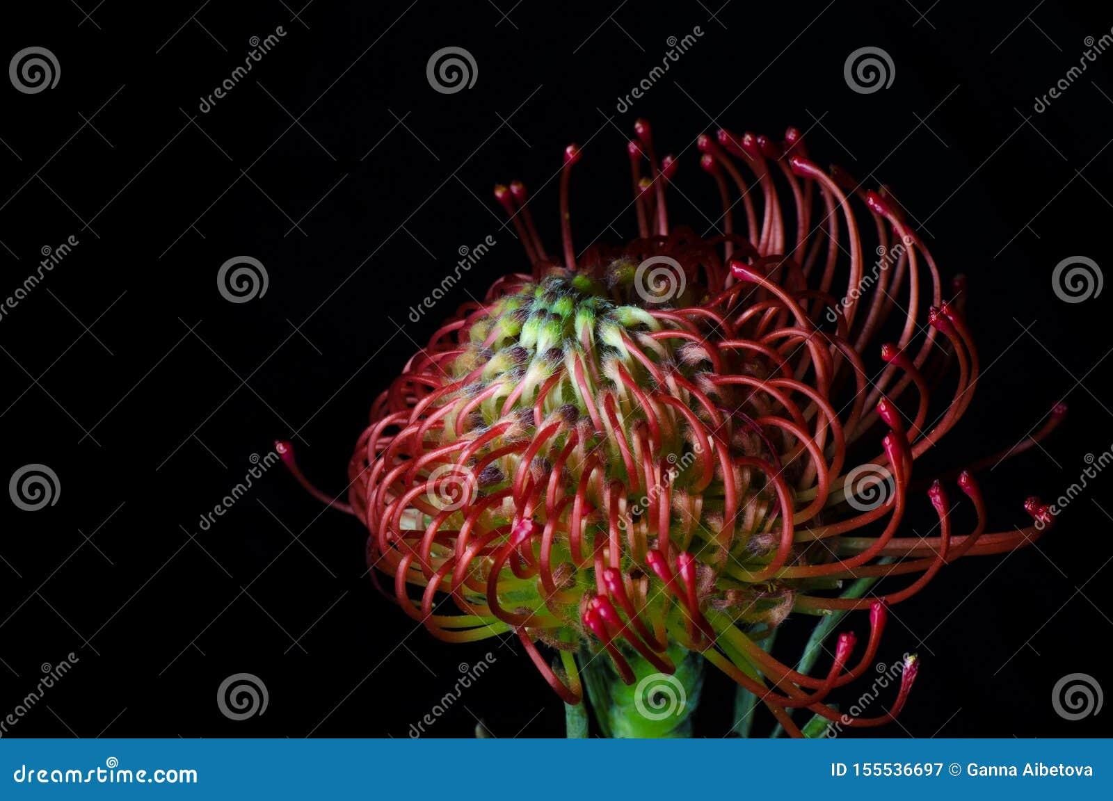 Cordifolium de Leucospermum, acerico-protea rojo Ciérrese para arriba de una flor de acerico hermosa del protea, símbolo de la fu