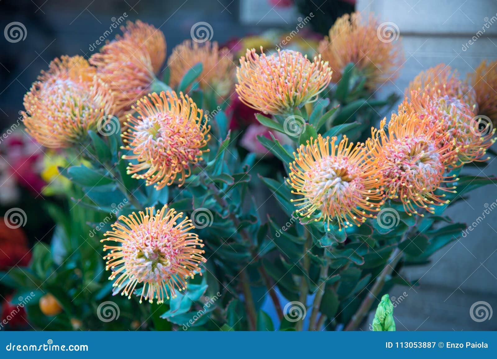 Cordifolium van speldenkussenleucospermum wat tot protea F behoren