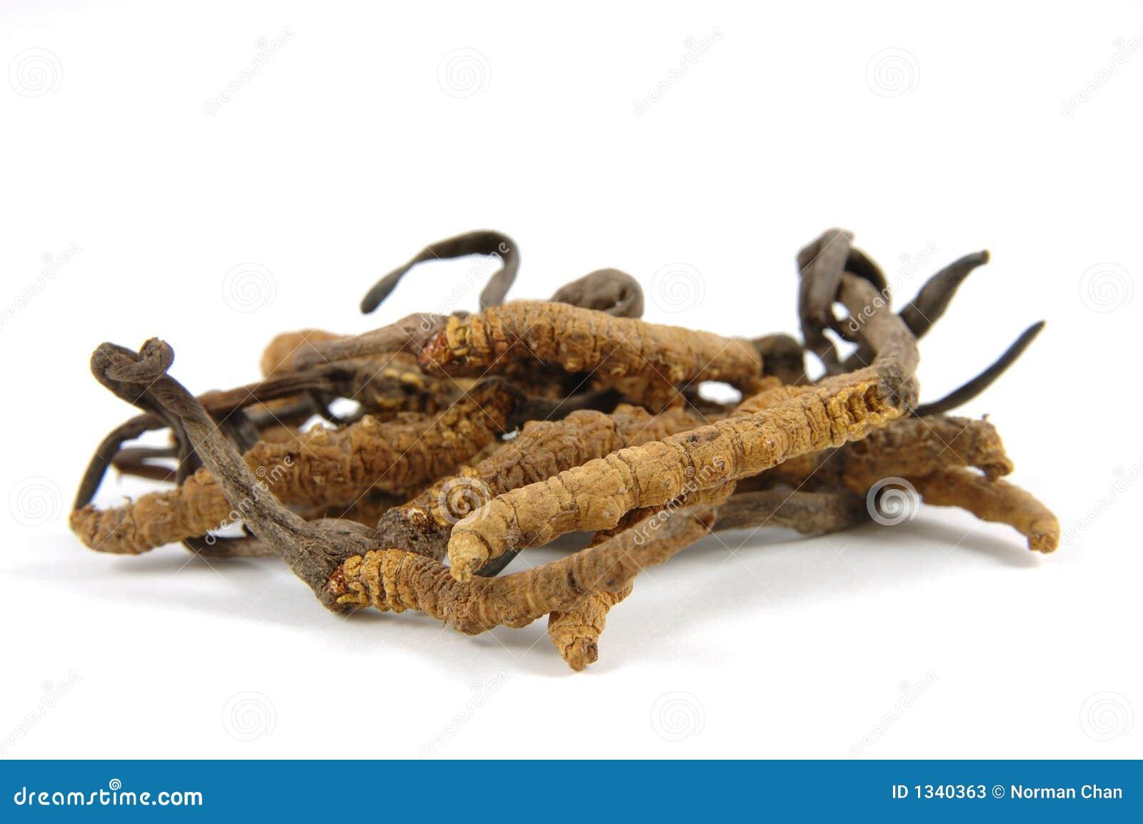 Cordyceps (un genre des mycètes d ascomycète)