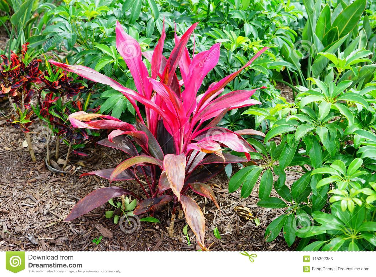 Cordyline Red Sister plant and croton varieties