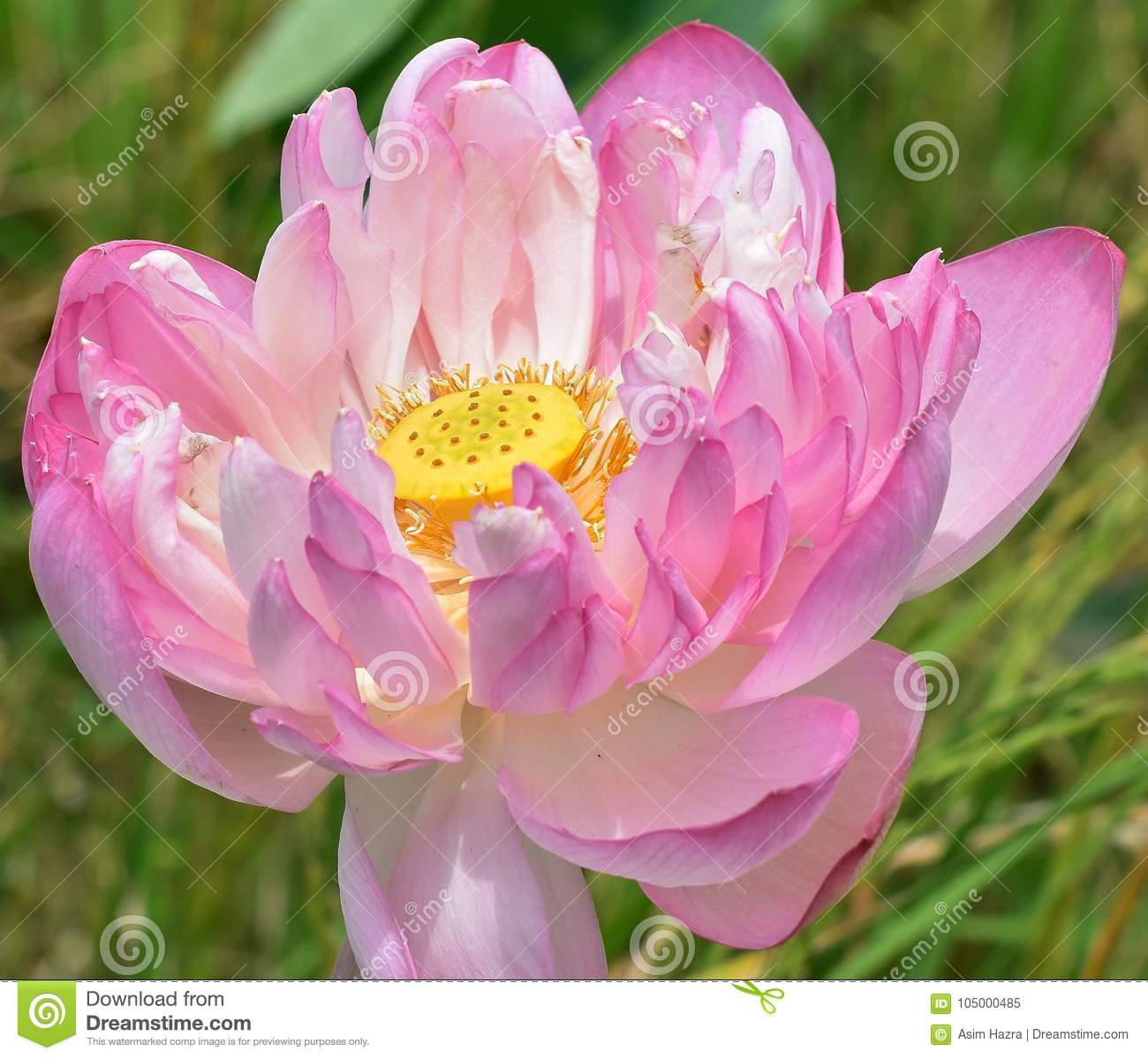 The Core Of A Lotus Stock Image Image Of Garden Green 105000485