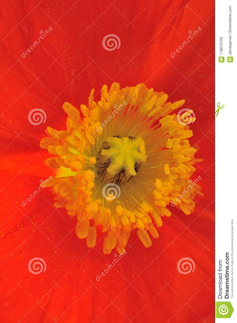 Red Poppy Flower Close Up Shot Stock Image Image Of Photo