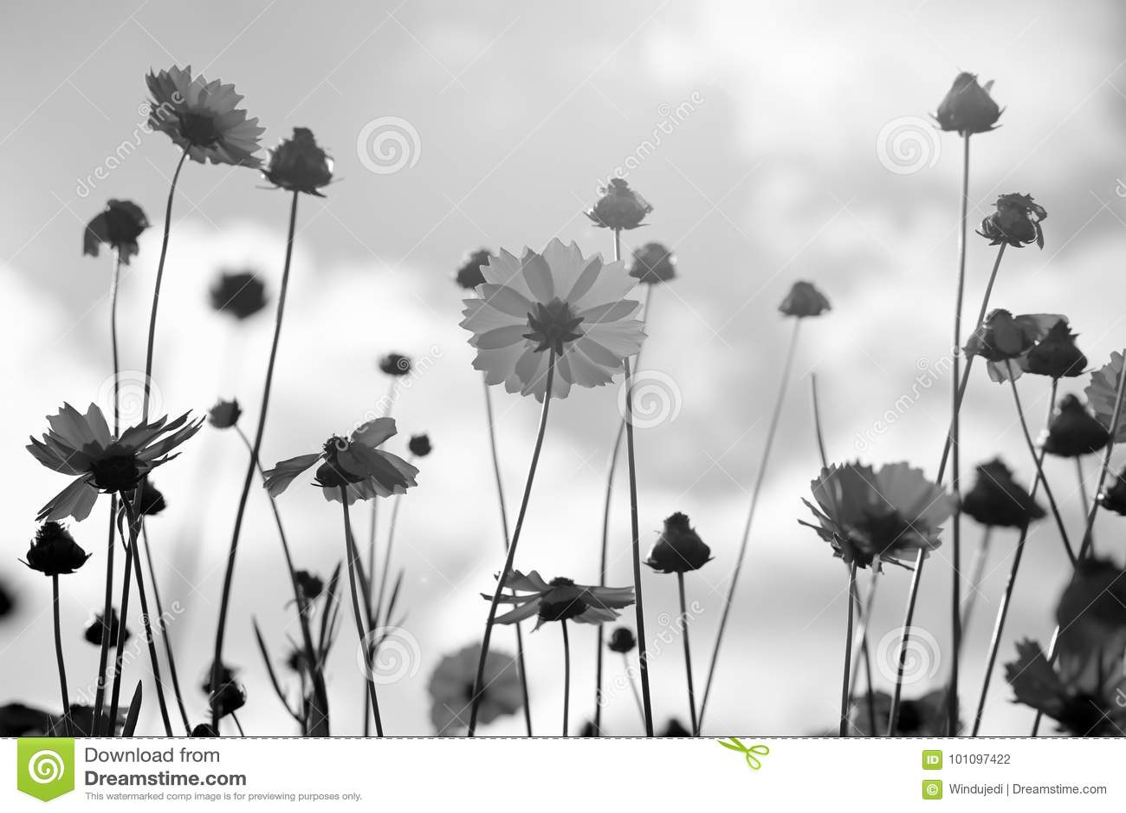 Coreopsis in bianco e nero