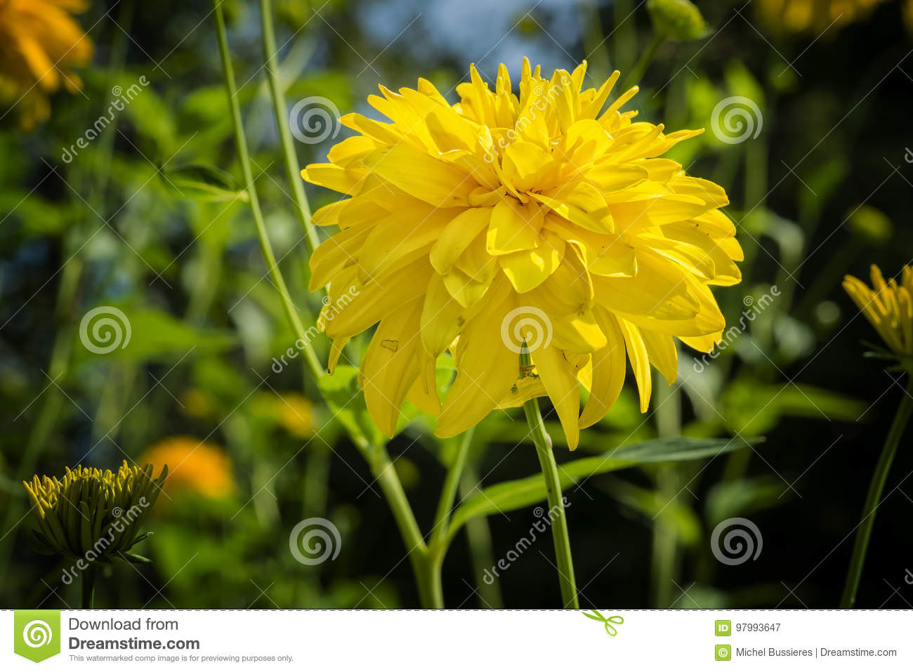 Coreopsis Grandiflora Sunray Flower Stock Image Image Of Flower