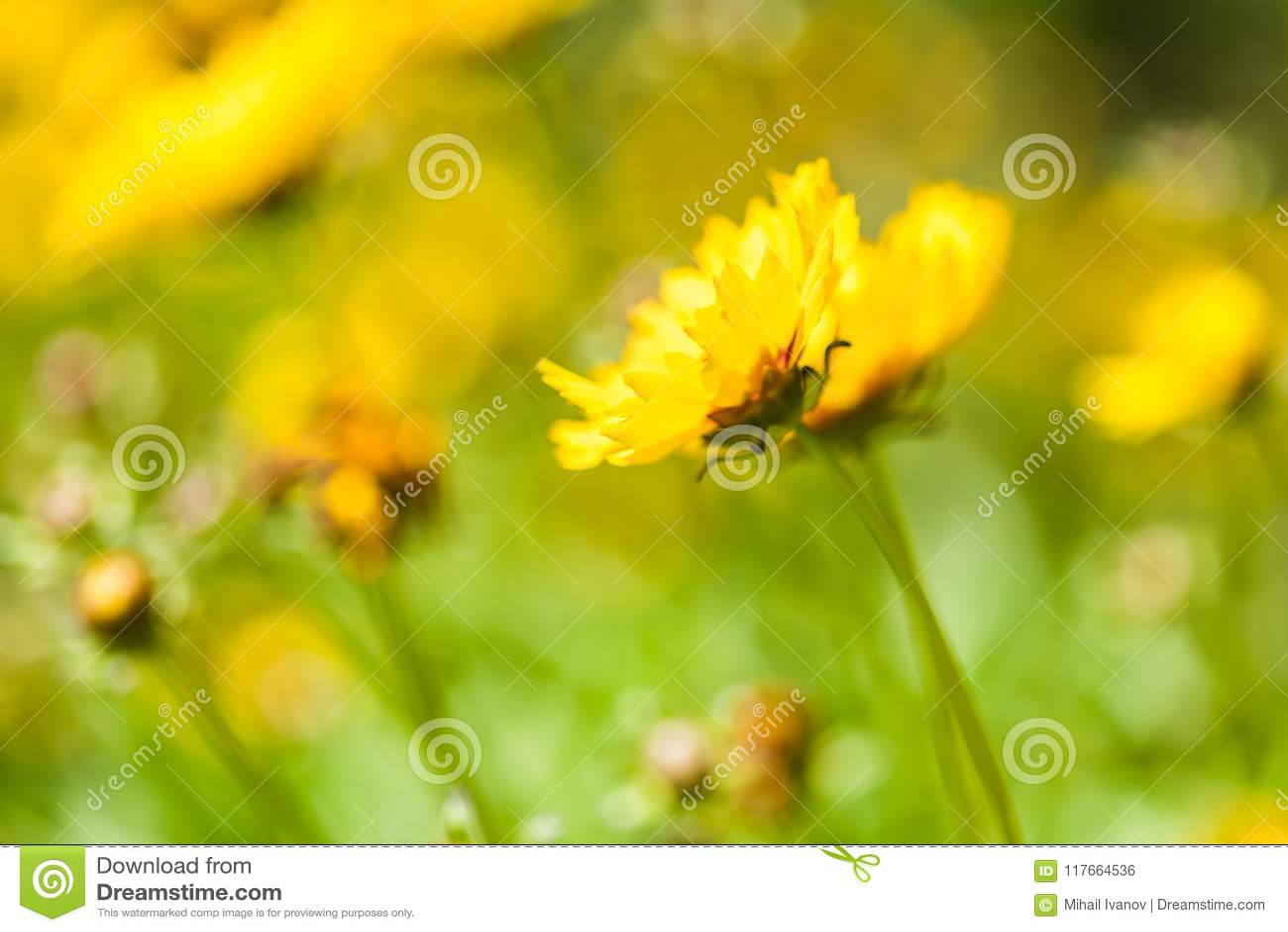 Coreopsis Hybrids Stock Photo Image Of Prairie Common 117664536