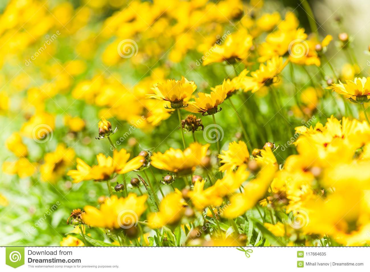 Coreopsis Hybrids Stock Image Image Of Woodland Field 117664635