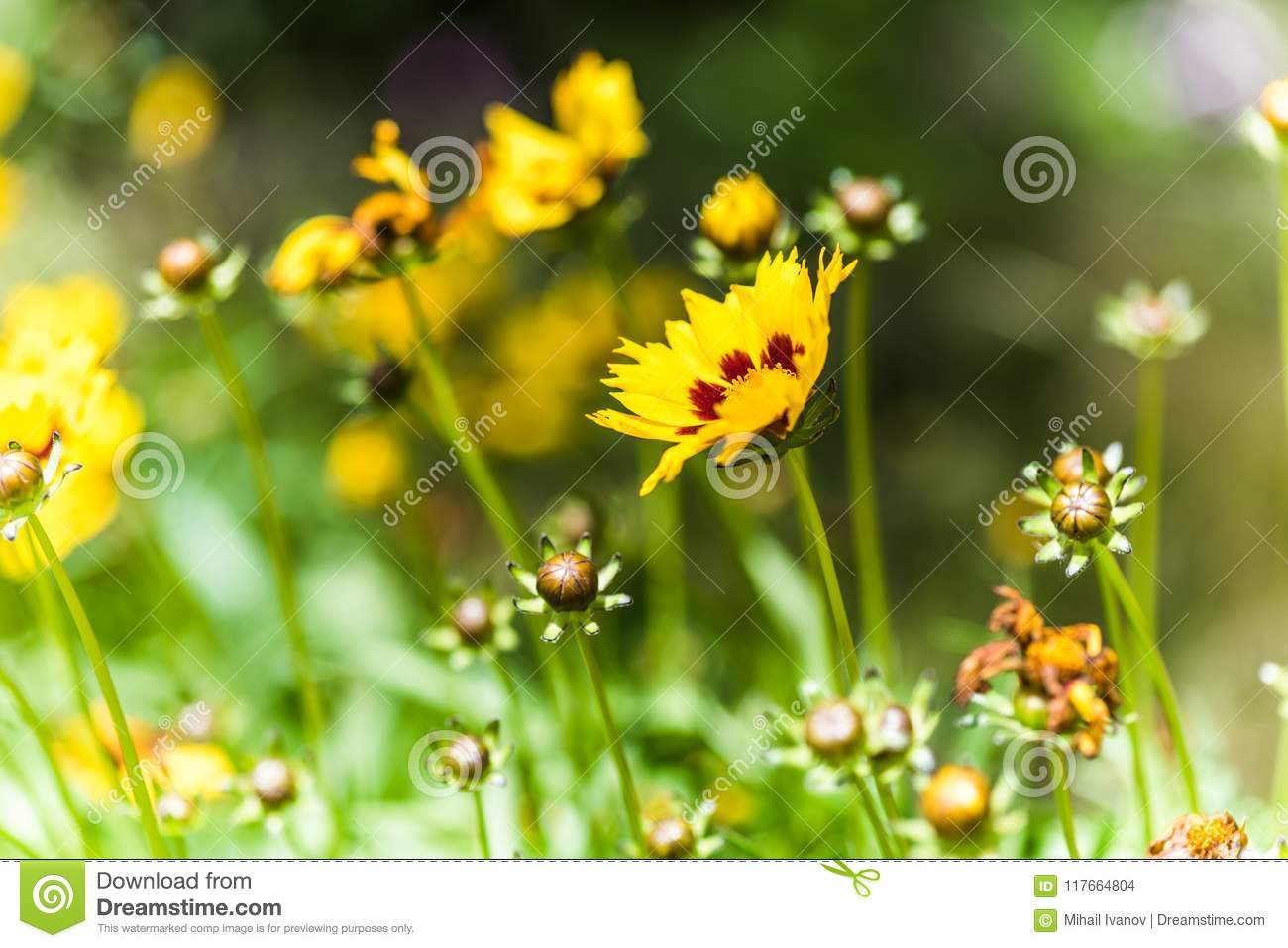Coreopsis Hybrids Stock Photo Image Of Bright Flowers 117664804
