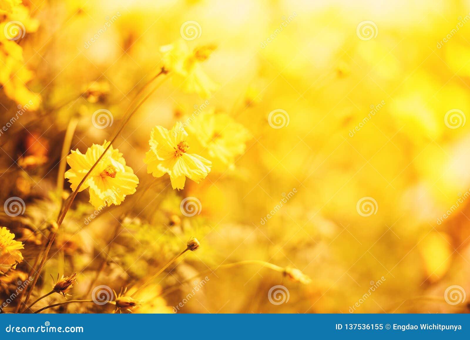 Cores amarelas do outono do calendula da planta do amarelo do fundo do borrão do campo de flor da natureza bonitas no jardim