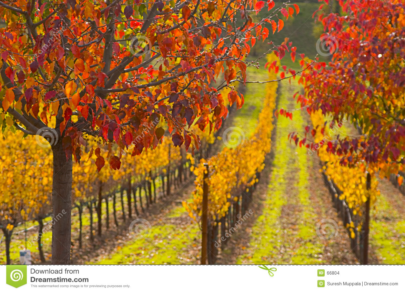 Cores da queda no campo da uva