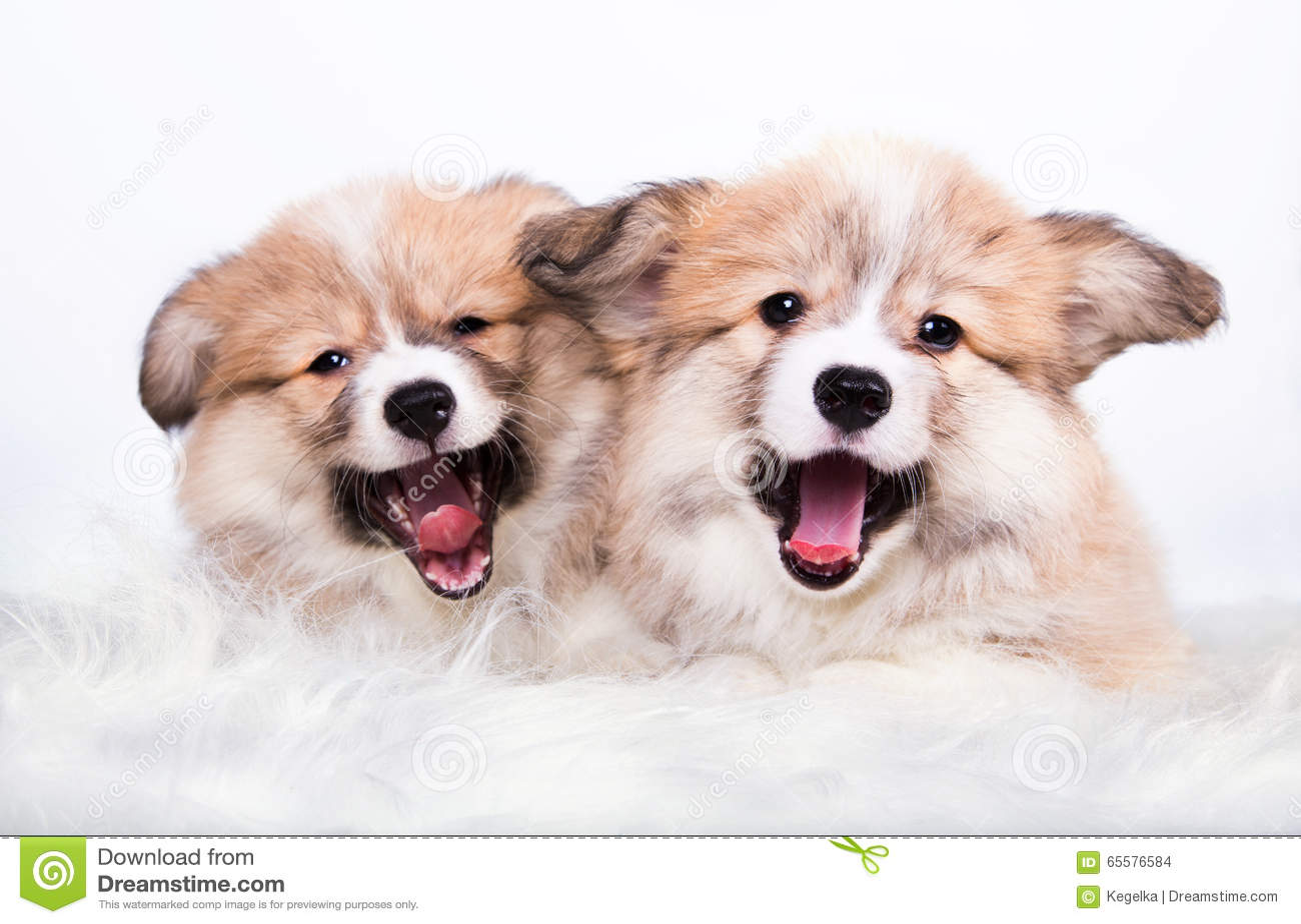 Corgi macio de bocejo de Galês dos cachorrinhos