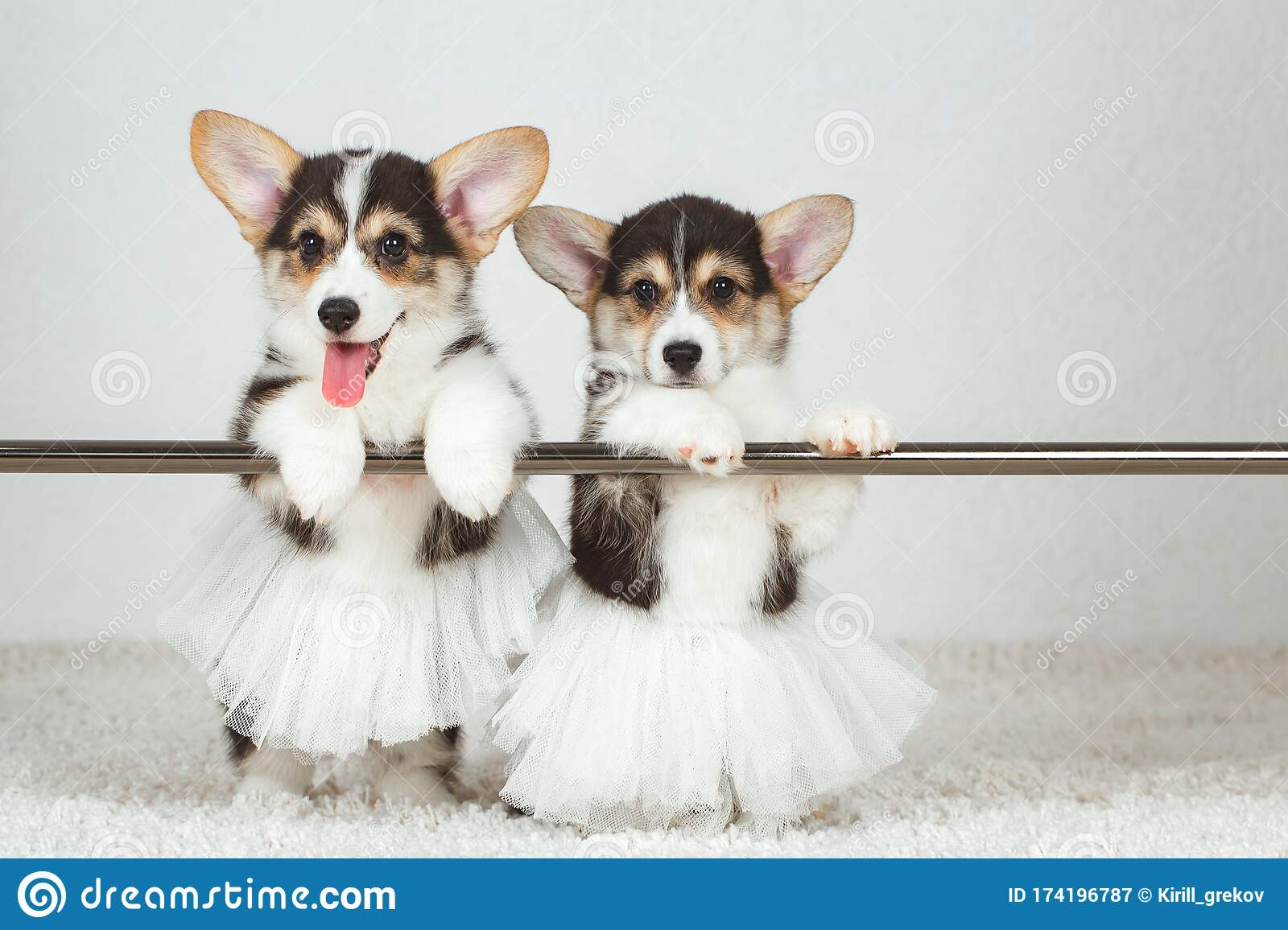 Corgi Puppies At The Ballet Dancer Stock Image Image Of Child Friend 174196787