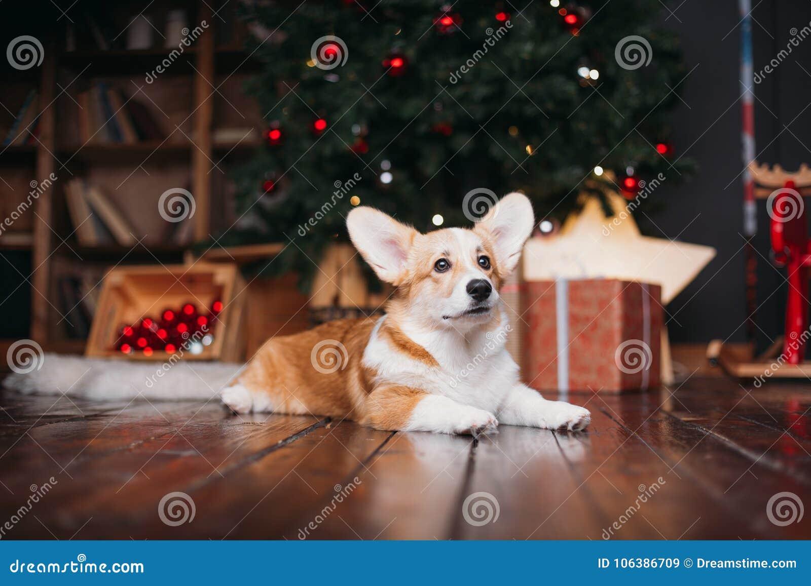 download corgi dog with merry christmas tree stock image image of cute sitting - Christmas Corgi
