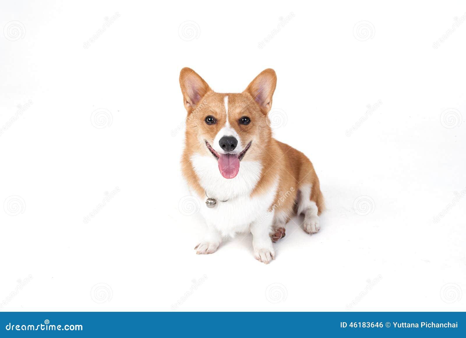 Corgihund