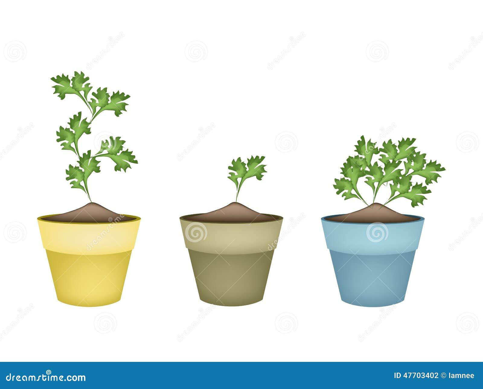 Coriandolo verde fresco in vasi da fiori di terracotta for Vasi erba