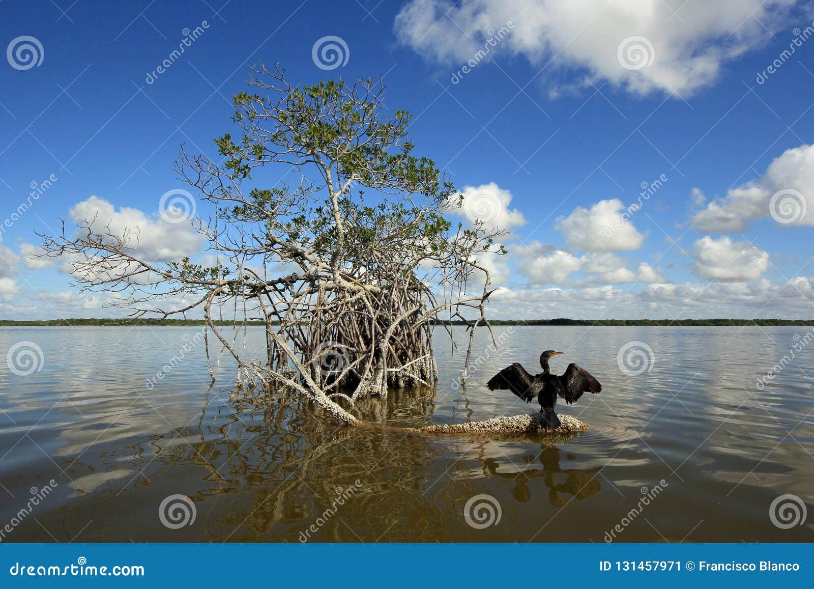 Cormorão em uma raiz dos manguezais nos marismas parque nacional, Florida