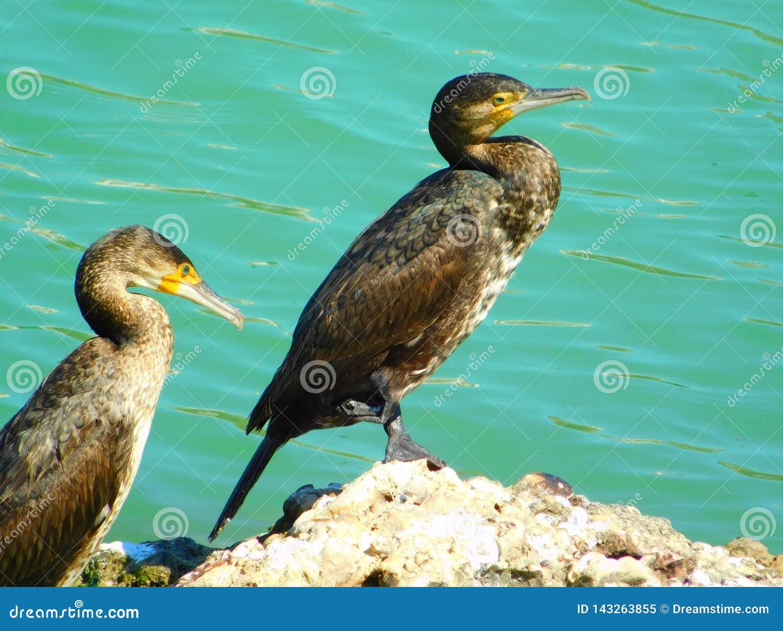 Cormoranes que descansan sobre una roca del mar