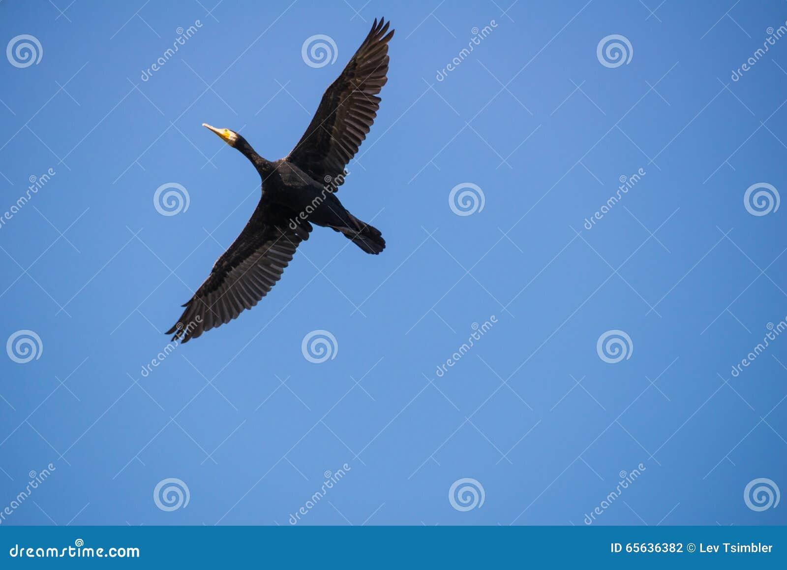 Cormorans au téléphone Afec
