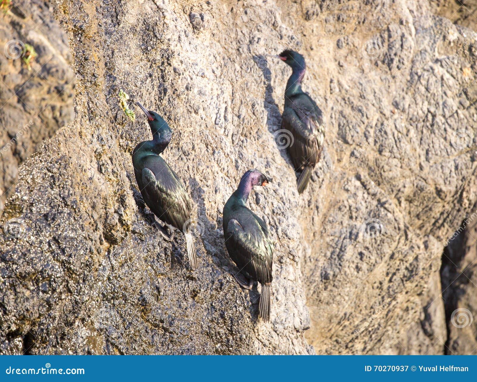Cormorans pélagiques (pelagicus de Phalacrocorax) accrochant sur une falaise