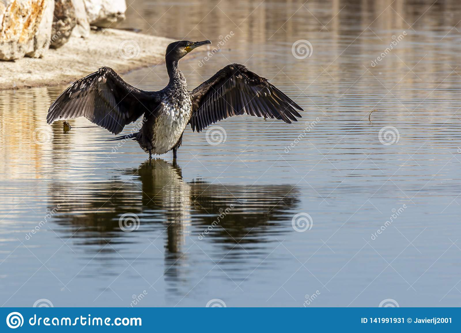 Cormorant drying its wet wings after fishing