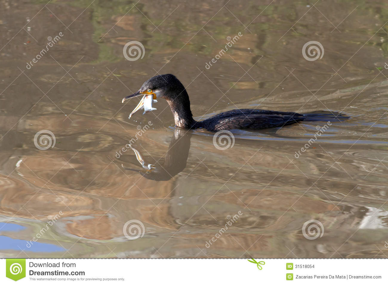 Cormorant eating fish stock images image 31518054 for Eating mullet fish