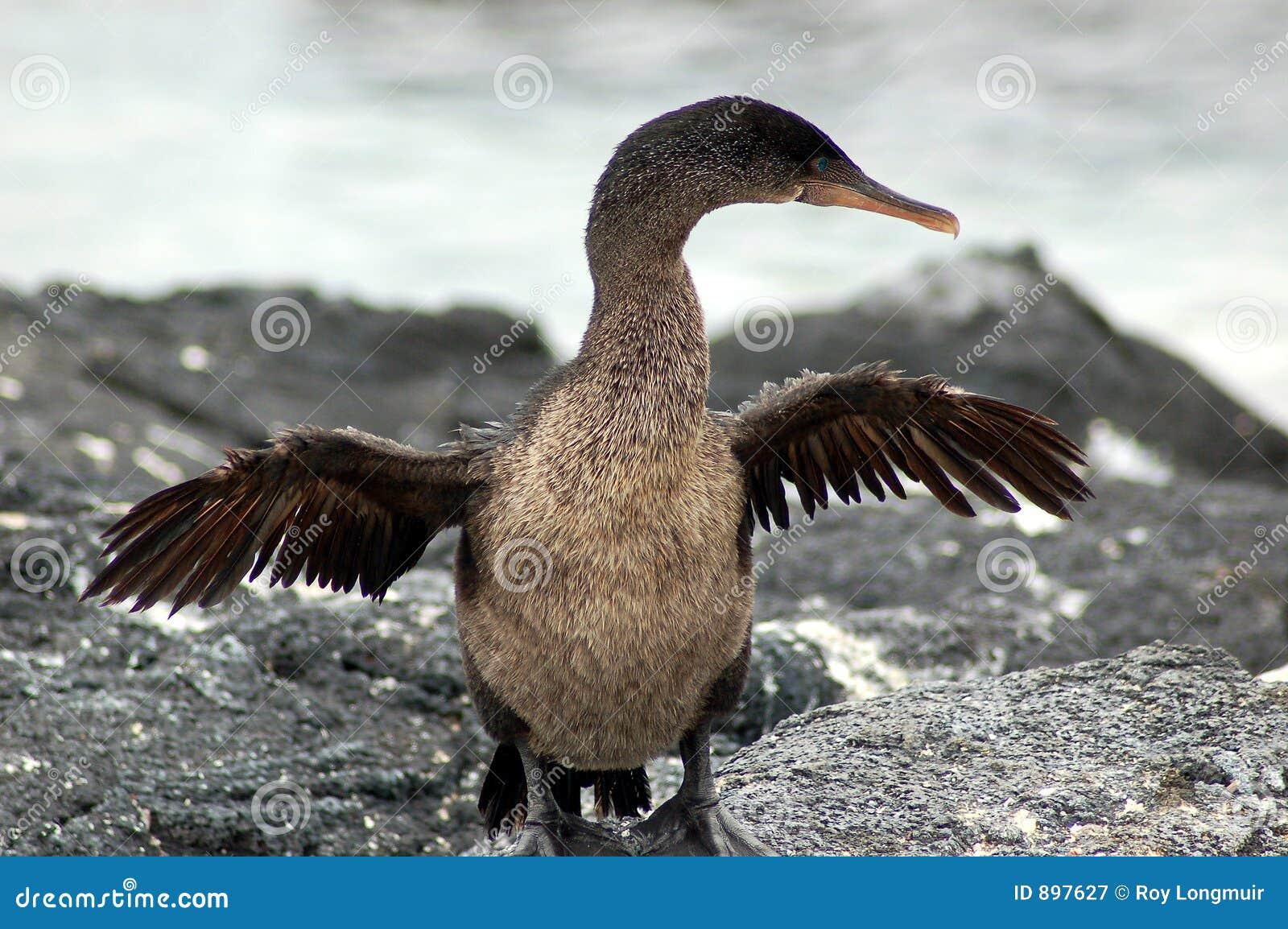 Cormorant incapable de voler